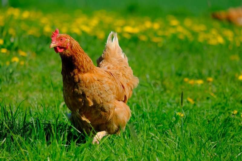 szczęśliwa kura ruch