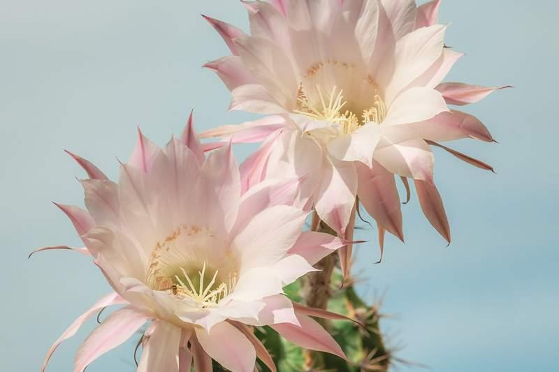 naciski kaktus