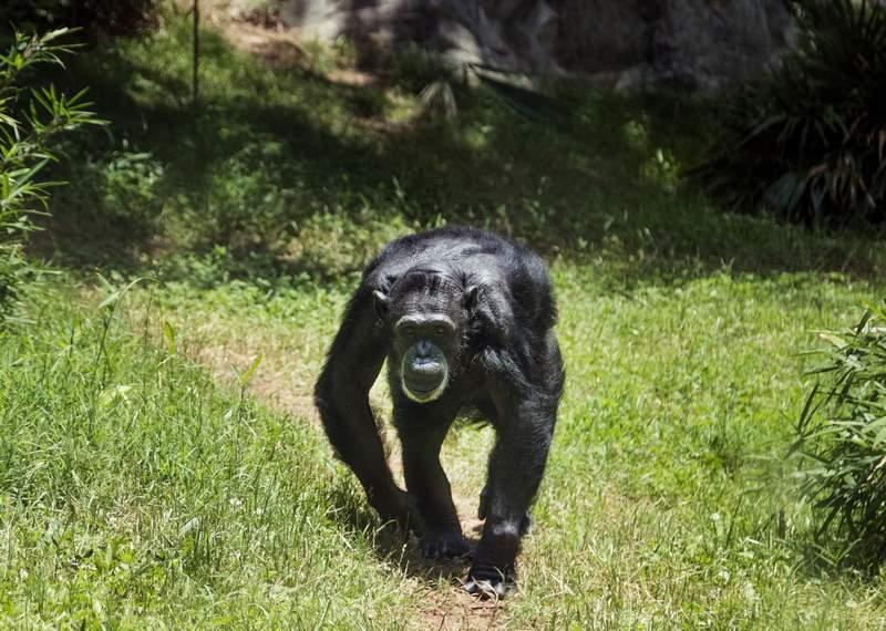 eksperyment małpy